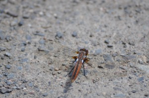 Dragonfly magnetic June 9, 2017